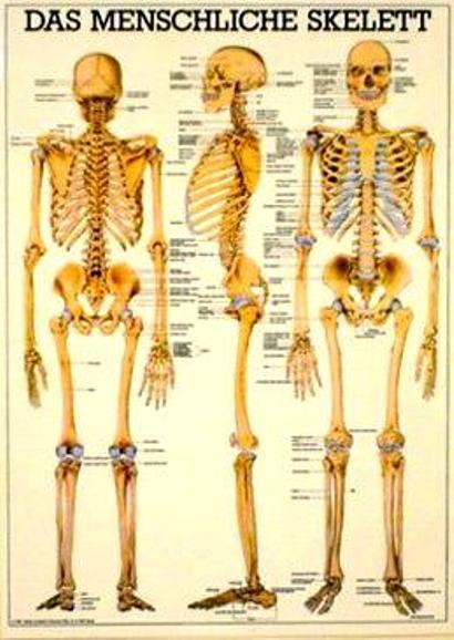 Skelettsystem Mini – Poster | IKAMEDshop
